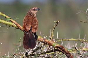 White browed coucal {Centropus superciliosus} Serengeti, Tanzania - Mike Wilkes