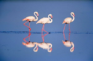 Three Greater flamingos {Phoenicopterus ruber} Serengeti NP, Tanzania  -  Mike Wilkes