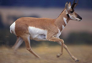 Male Pronghorn antelope running {Antilocapra americana} Hart mtn NWR, Oregon, USA. The proghorn has a maximum speed of 55mph but can also cruise at 40mph for as long as 30 minutes; the animal equivale...  -  Michael Durham