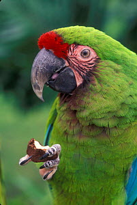 Military macaw feeding on nut from claw {Ara militaris} captive, from South America  -  Michael Durham