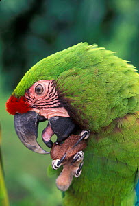 Military macaw feeding on nut from claw, note tongue {Ara militaris} captive, from South America  -  Michael Durham