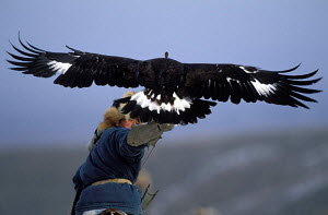 Kazakh hunter releasing Golden eagle trained to hunt wolf and fox, Kazakhstan, Asia  -  VINCENT MUNIER