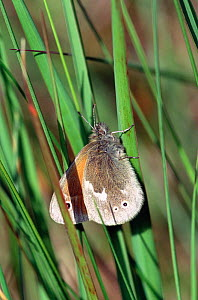 Large heath butterfly {Coenonympha tullia} Scotland, UK. - STEVE KNELL