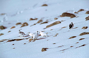 Rock ptarmigans in winter plumage on snow {Lagopus mutus} Cairngorms, Scotland, UK  -  Steve Knell