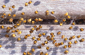 Young spiderlings, UK  -  Brian Lightfoot