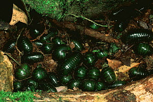 Nest of Giant pill millipedes rolled up {Sphaerotherium sp} Madagascar  -  Pete Oxford