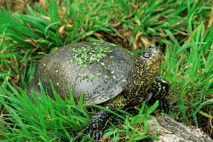 European pond turtle {Emys orbicularis} Western Europe, captive  -  John Cancalosi