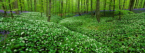 Beech wood with Wild garlic / Ramsons {Allium ursinum} and bluebells in flower, Belgium - Bernard Castelein