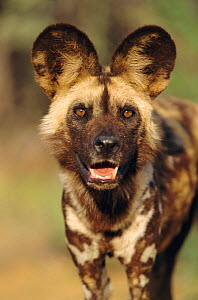 African wild dog portrait {Lycaon pictus} Namibia. Taken under controlled conditions.  -  Ingo Arndt