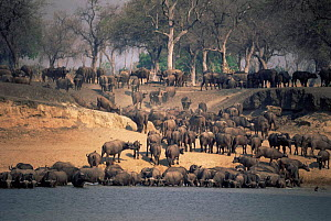 Cape buffalo {Syncerus caffer caffer} large herd drinking in Luangwa river, Zambia.  -  Martha Holmes