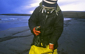 Collecting dead seabirds after Braer oil spill, Sheltand Island, Scotland, UK, 5th January 1993  -  Charlie Hamilton James