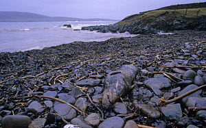 Dead seal on oil polluted coast after Braer oil spill, Sheltand Island, Scotland, UK, 5th January 1993 - Charlie Hamilton James