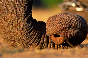 Close up of curled tip of Indian elephant trunk {Elephas maximus} India  -  Nick Garbutt
