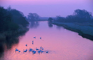 Mute swan flock on river at dawn {Cygnus olor} Montrose Scotland  -  Niall Benvie