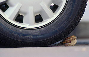 Common sparrow {Passer domesticus} resting under car tyre Scotland  -  Niall Benvie