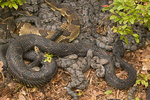 Timber rattlesnakes females with young {Crotalus horridus} USA  -  John Cancalosi