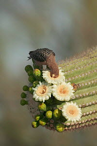 Gila woodpecker feeds on Saguaro cactus flower Sonoran desert Arizona USA {Melanerpes uropygialis} - John Cancalosi