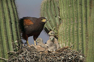 Harris hawk nest with chicks + rabbit prey in Saguaro cactus. Arizona USA Sonoran desert  -  John Cancalosi