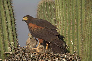 Harris hawk at nest in Saguaro cactus with chicks + rabbit prey. Arizona USA Sonoran desert  -  John Cancalosi