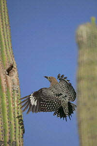 Gila woodpecker flies to nest in Saguaro cactus Sonoran desert Arizona USA {Melanerpes uropygialis} - John Cancalosi