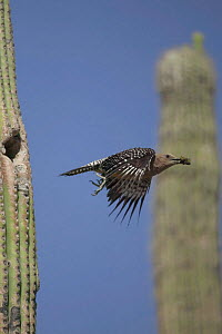 Gila woodpecker flies from nest in Saguaro cactus Sonoran desert Arizona USA {Melanerpes uropygialis} - John Cancalosi