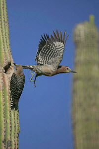 Gila woodpecker pair at nest in Saguaro cactus Sonoran desert Arizona USA {Melanerpes uropygialis} - John Cancalosi