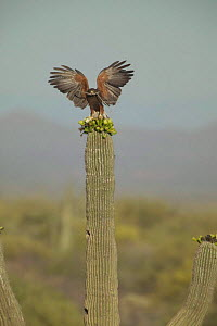 Harris hawk with nest material perched on Saguaro cactus Sonoran desert Arizona, USA  -  John Cancalosi