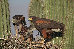Harris hawk nest with chicks + rabbit prey Saguaro cactus. Arizona Sonoran desert, USA  -  John Cancalosi