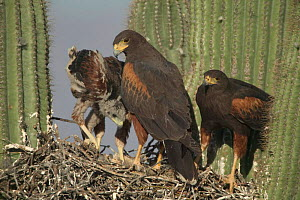 Harris hawk nest with chicks {Parabuteo unicinctus} in Saguaro cactus. Arizona Sonoran desert USA  -  John Cancalosi