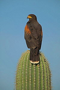 Harris hawk on Saguaro cactus {Parabuteo unicinctus} Sonoran desert Arizona USA  -  John Cancalosi