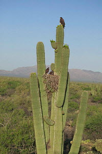 Harris hawks + nest on Saguaro cactus {Parabuteo unicinctus} Sonoran desert Arizona USA  -  John Cancalosi