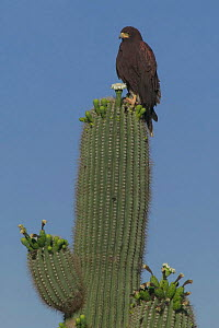 Harris hawk + nest on Saguaro cactus {Parabuteo unicinctus} Sonoran desert Arizona USA  -  John Cancalosi
