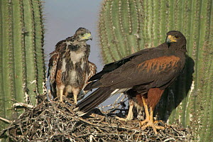 Harris hawk nest with chicks {Parabuteo unicinctus} in Saguaro cactus. Arizona USA  -  John Cancalosi
