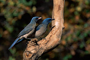 Mexican jay pair {Aphelocoma ultramarina} Arizona, USA  -  Mary McDonald