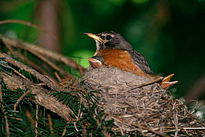 American robin on nest with chicks {Turdus migratorius} Wisconsin, USA - Thomas Lazar