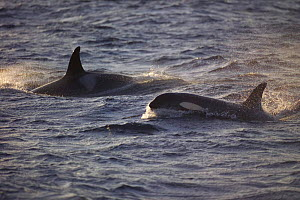 Killer whales surfacing while feeding on herring {Orcinus orca} Tysfjord Norway  -  Solvin Zankl