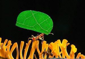 Leafcutter ant {Atta sp} carrying leaf fragment to nest. Ants are champion weightlifters, capable of lifting 50 times their body weight (the equivalent of a human heaving 50 people). They would win a... - Solvin Zankl