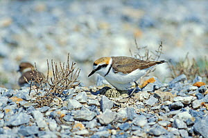 Kentish plover male at nest with eggs {Charadrius alexandrinus} Lesbos Greece  -  David Kjaer