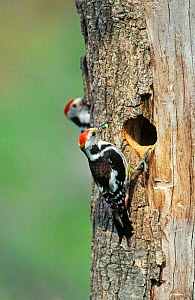 Middle spotted woodpecker female at nest hole {Dendrocopos medius} Lesbos Greece  -  David Kjaer