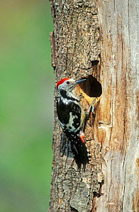 Middle spotted woodpecker male at nest hole Lesbos Greece {Dendrocopos medius}  -  David Kjaer