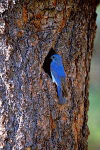 Mountain bluebird, male at nest hole {Siala currucoides} Arizona, USA.  -  Tom Vezo
