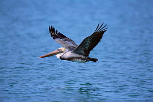 Brown pelican flying over water {Pelecanus occidentalis} Mexico.  -  Tom Vezo