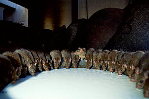 Offering milk to 'holy' Black rats {Rattus rattus} temple Deshnoke, Rajasthan, India - Laurent Geslin