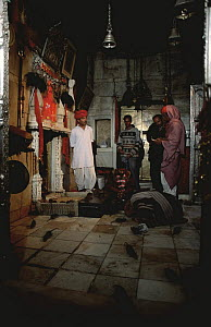 Holy Black rats in Hindu temple {Rattus rattus} Deshnoke, Rajasthan, India, 2002 - Laurent Geslin