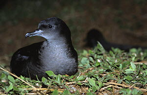 Short tailed shearwater on nest (Puffinus tenvirostris) Southern Australia - Laurent Geslin