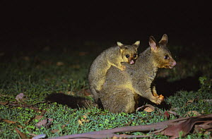 Common brushtail possum {Trichosurus vulpecula} with baby on back, Queensland, Australia - Laurent Geslin