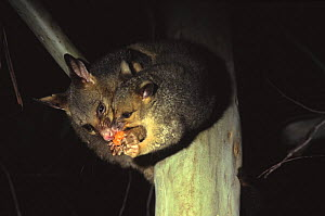 Common brushtail possum {Trichosurus vulpecula} with baby in tree eating fruit Queensland, Australia - Laurent Geslin