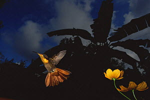 Hummingbird (Trochilidae) flying from flower at night, Tobago - Laurent Geslin