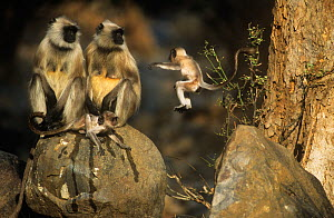 Southern plains grey / Hanuman langur {Semnopithecus dussumieri} two adults with young, one jumping, Sariska NP, Rajasthan, India - Laurent Geslin