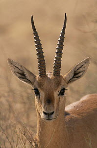Indian gazelle {Gazella bennetti} male portrait, Thar desert, Rajasthan, India  -  Laurent Geslin
